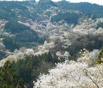 𠮷水神社からの桜の眺め
