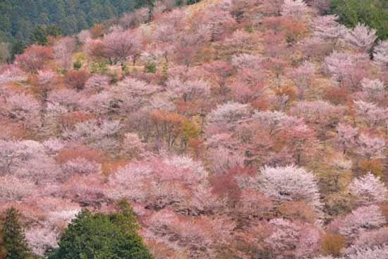 吉野山の色とりどりの桜