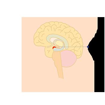 扁桃体の位置