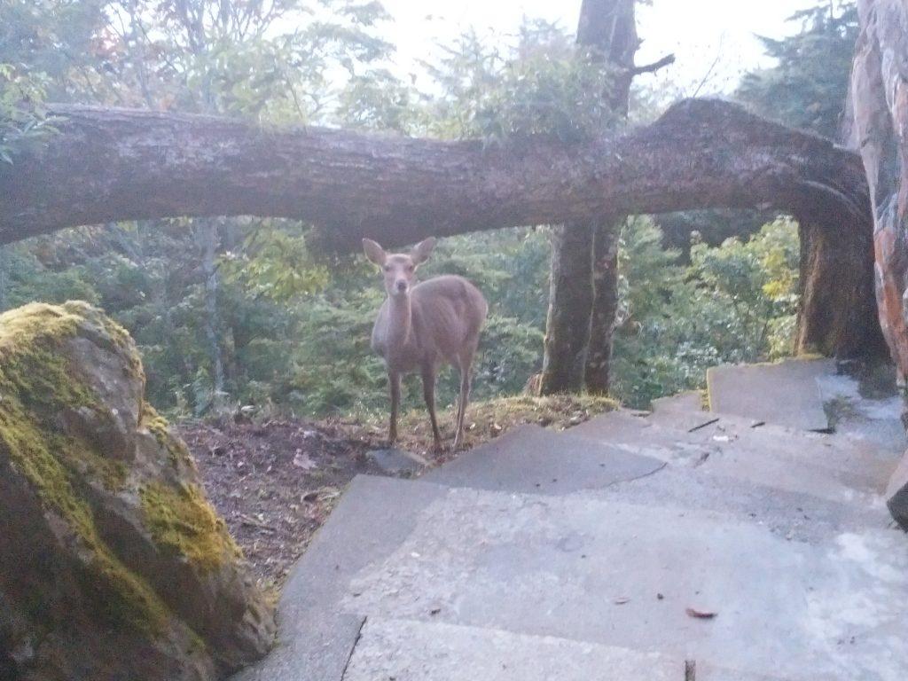 七面山の鹿
