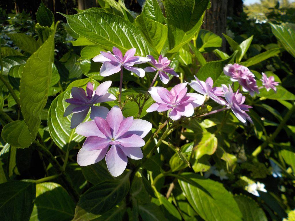ガクアジサイ(紫)