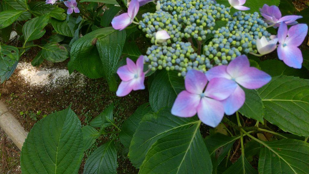 ガクアジサイ (紫白)