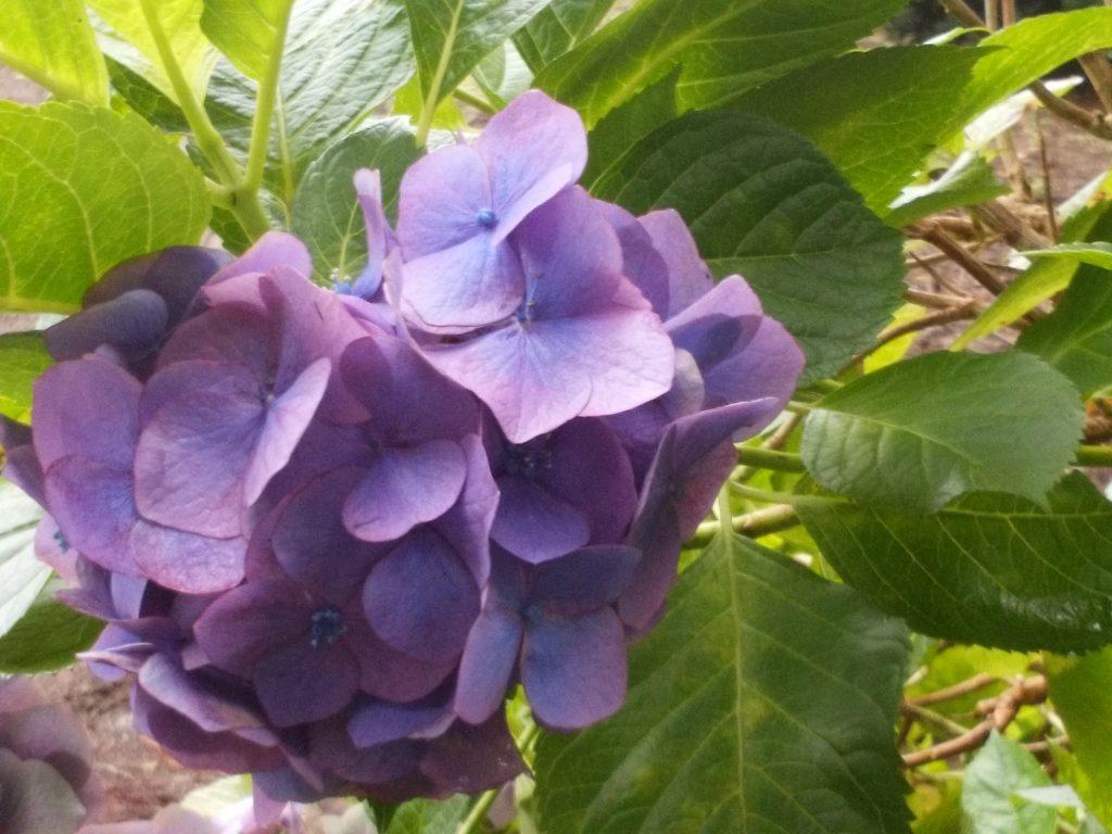 ホンアジサイ(紫2)