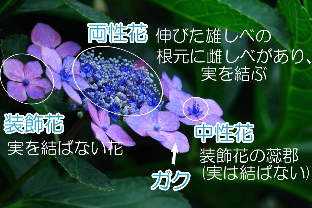 紫陽花の花の構造